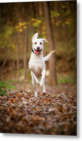 Labrador Frolics In Woodlands Metal Print