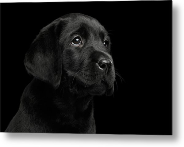 Labrador Retriever Puppy Isolated On Black Background Metal Print
