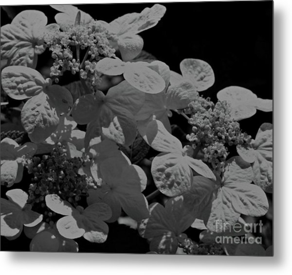 Lace Cap Hydrangea In Black And White Metal Print
