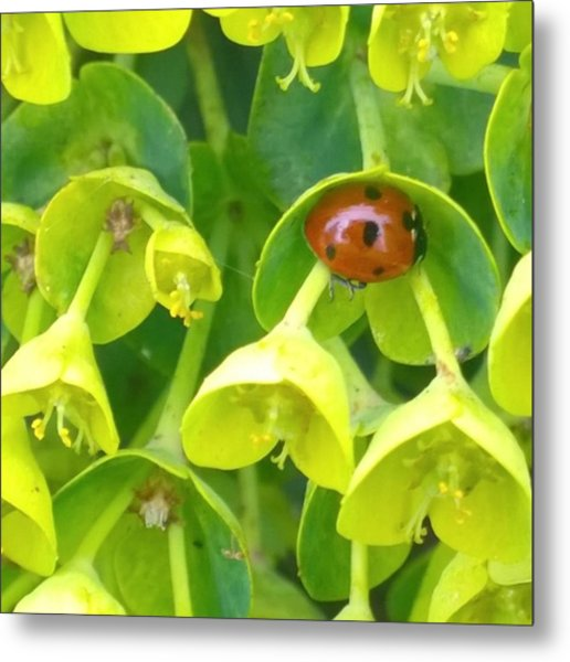 #ladybug Found Some Shelter From The Metal Print