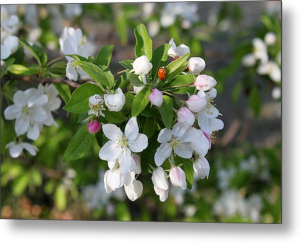 Ladybug On Cherry Blossoms Metal Print