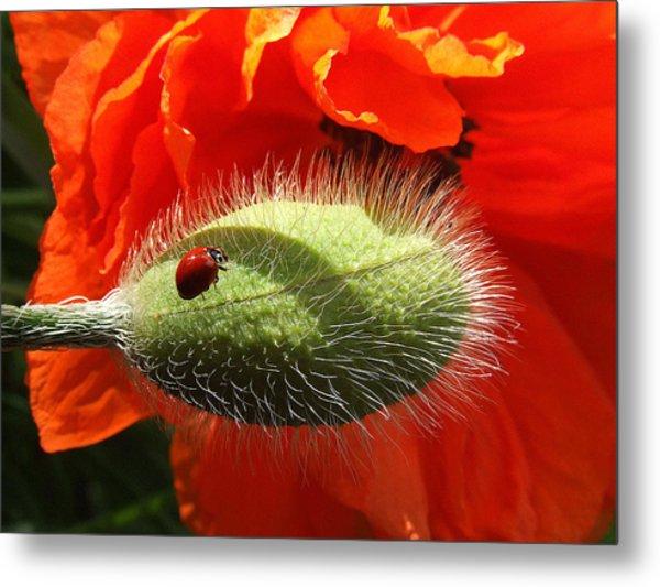 Ladybug On Poppy Metal Print
