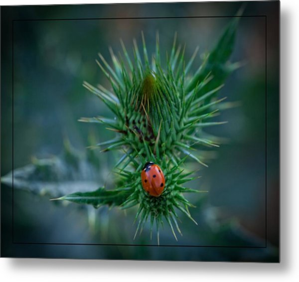 Ladybug On Thistle Metal Print
