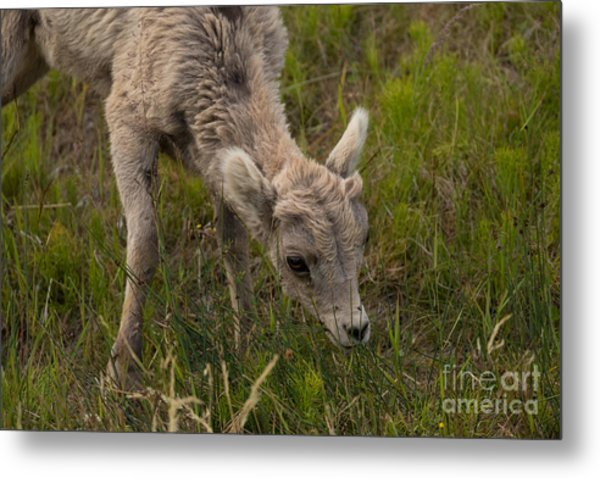 Little Lamb's Lunchtime Metal Print