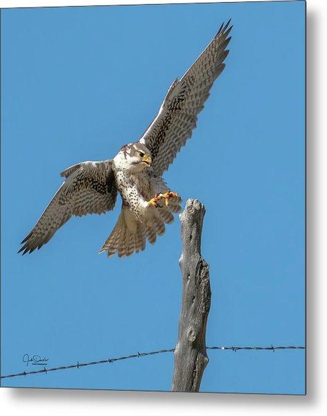 Landing Prairie Falcon Metal Print