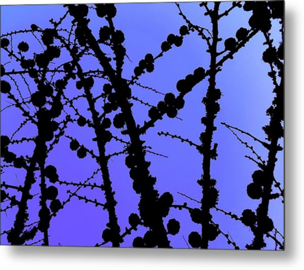 Larch Cones Against The Sky Metal Print