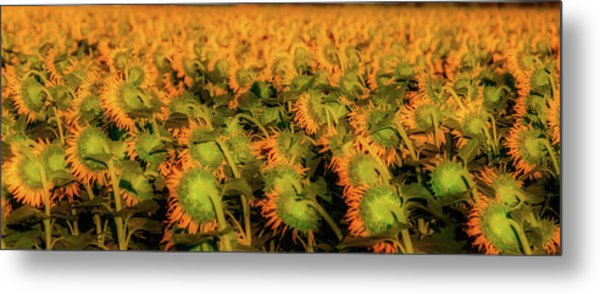 Large Field Of Sunflowers Metal Print