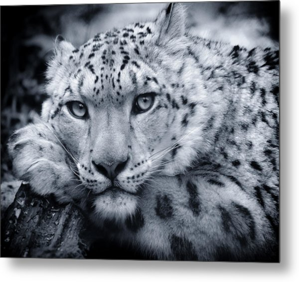 Large Snow Leopard Portrait Metal Print
