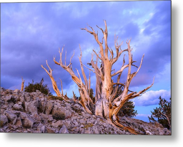 Last Light On The Bristlecones Metal Print