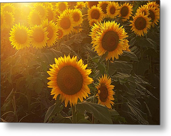 Late Afternoon Golden Glow Metal Print