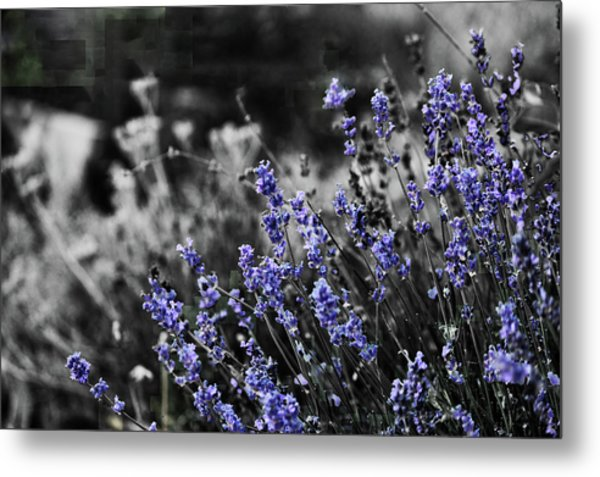 Lavender B And W Metal Print