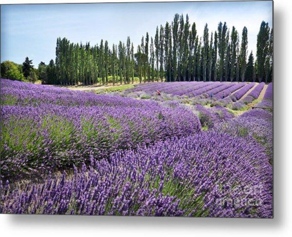 Lavender Hills Metal Print