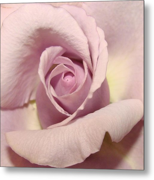 Lavender Mini Rose Metal Print by Liz Vernand