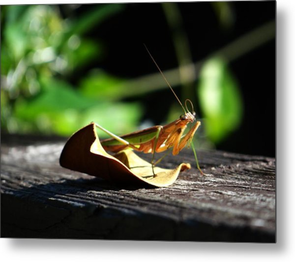 Leafy Praying Mantis Metal Print