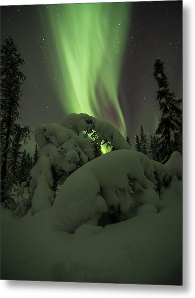 Leaning Spruce Aurora Metal Print