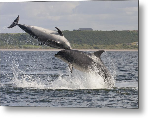 Leaping Bottlenose Dolphins - Scotland  #38 Metal Print