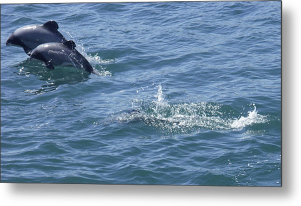 Leaping Hector's Dolphins Metal Print