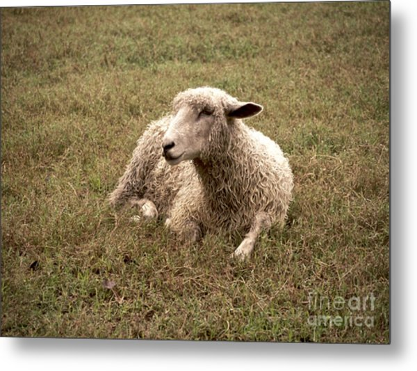 Leicester Sheep In The Dewy Grass Metal Print