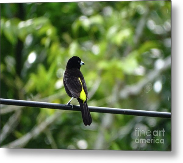 Lemon-rumped Tanager Metal Print