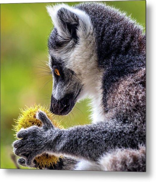 Lemur And Sweet Chestnut Metal Print