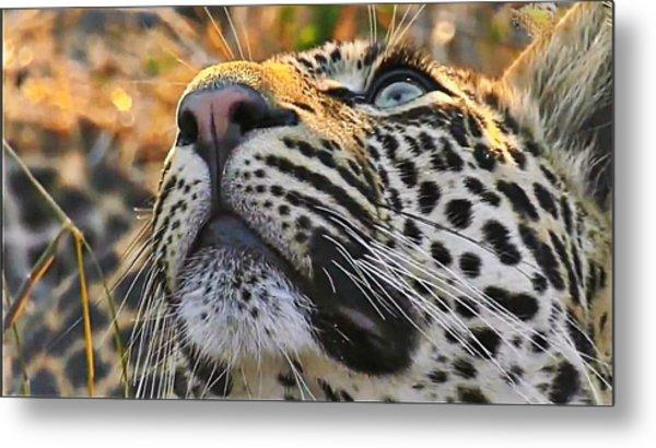 Leopard Aloft Metal Print