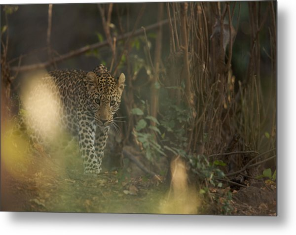 Leopard Comes Out Of The Bush Metal Print by Johan Elzenga