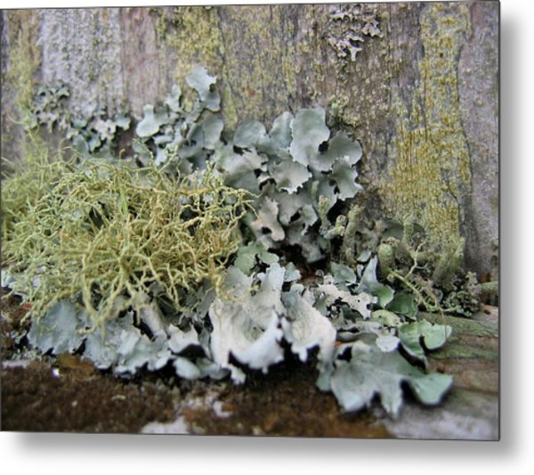 Lichen And Old Fence #2 Metal Print
