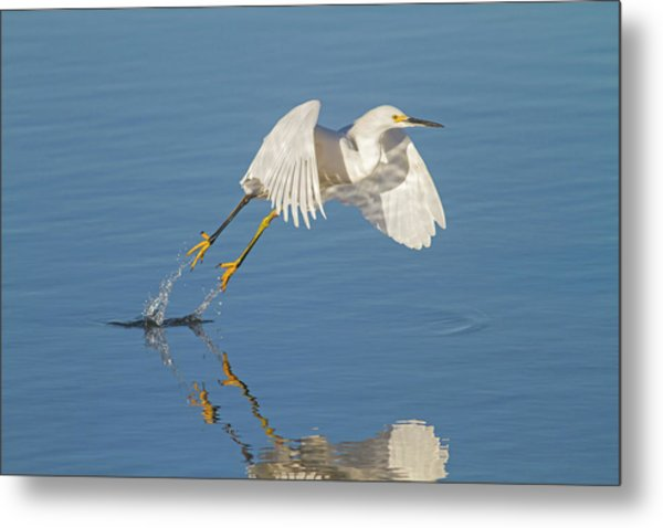 Lift Off- Snowy Egret Metal Print