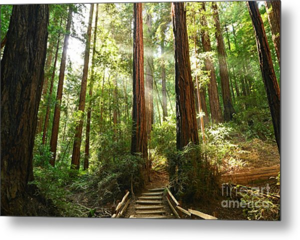 Light The Way - Redwood Forest Of Muir Woods National Monument With Sun Beam. Metal Print