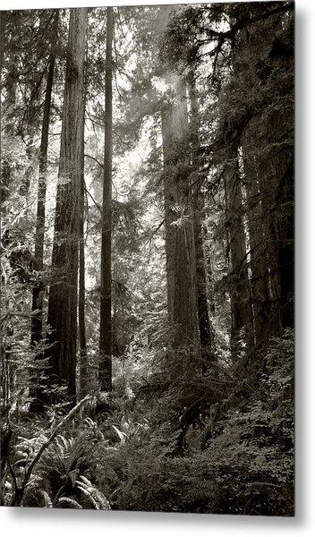 Light Through Redwoods Metal Print