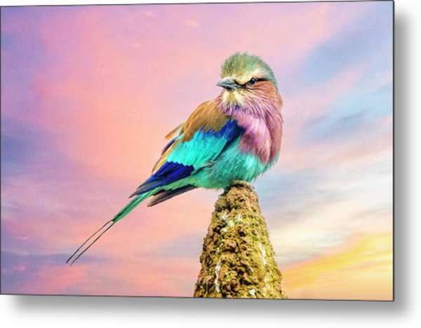 Lilac Breasted Roller At Sunset Metal Print