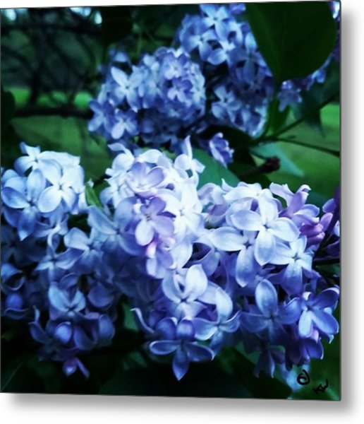 A Bee In The Lilac Metal Print