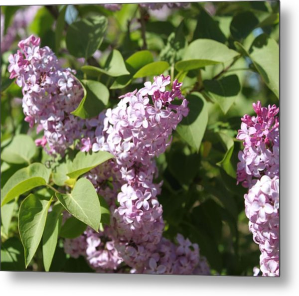 Metal Print featuring the photograph Lilacs 5544 by Antonio Romero