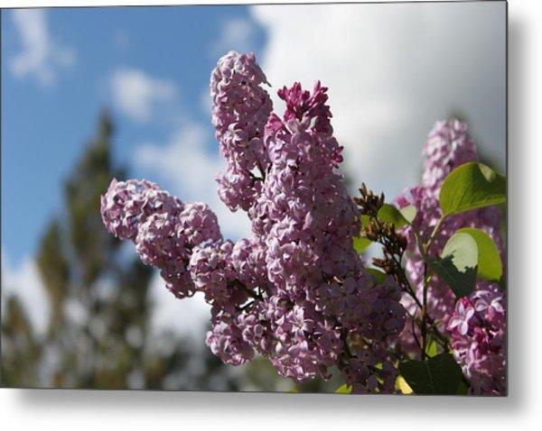 Lilacs 5547 Metal Print
