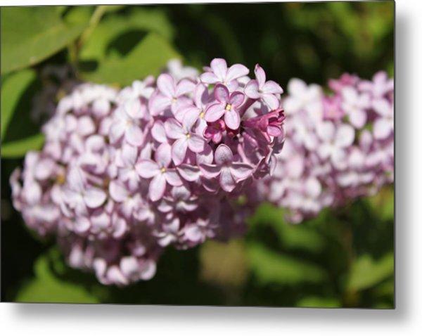 Lilacs 5549 Metal Print