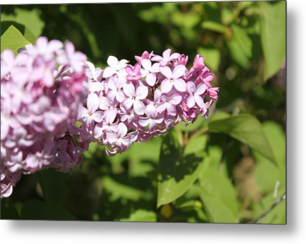 Metal Print featuring the photograph Lilacs 5550 by Antonio Romero