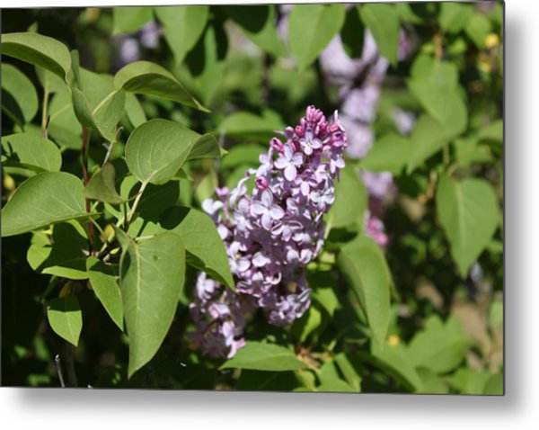 Metal Print featuring the photograph Lilacs 5551 by Antonio Romero