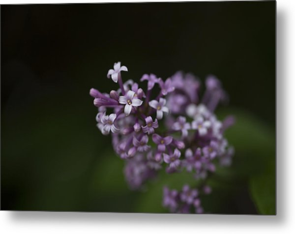 Lilacs2 Metal Print by Liz Howerton