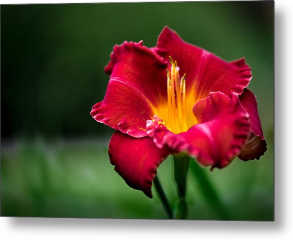 Lily Beauty Metal Print