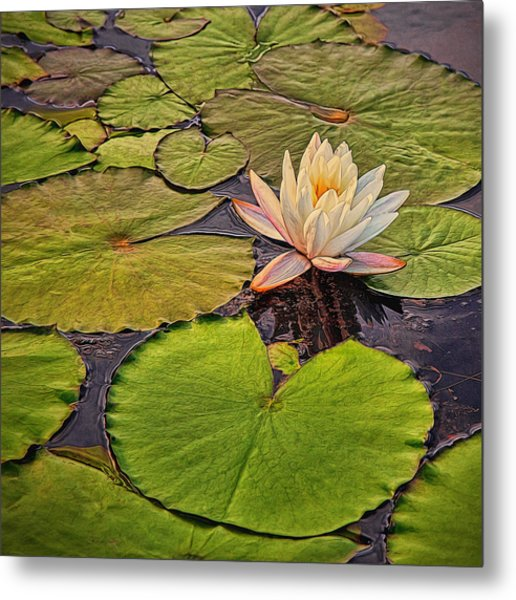 Lily In The Pads Metal Print