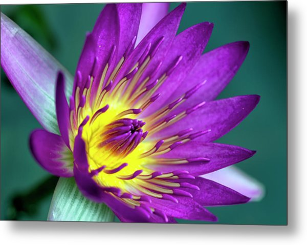 Lily On The Water Metal Print