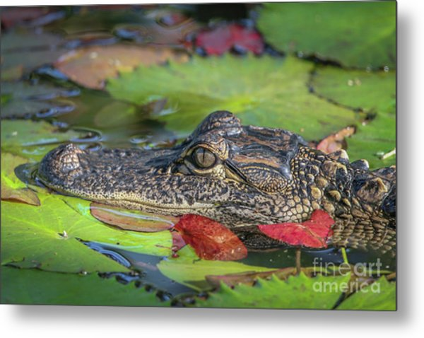 Metal Print featuring the photograph Lily Pad Gator by Tom Claud