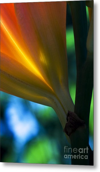 Lily Torchere Metal Print by Shawn Young