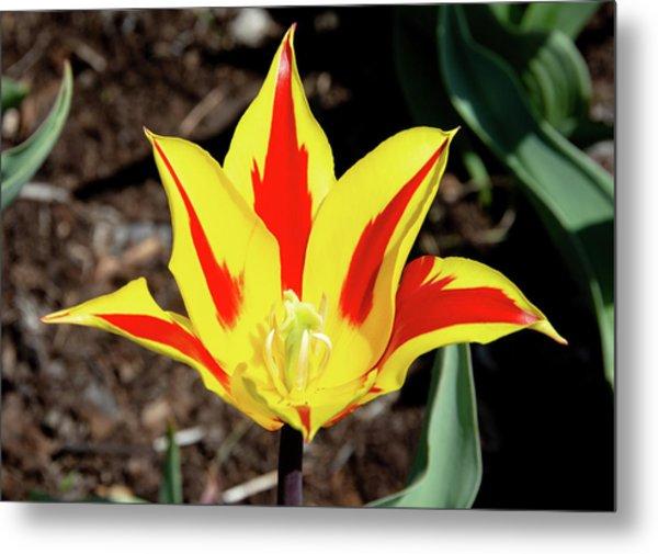 Lily Tulip Metal Print