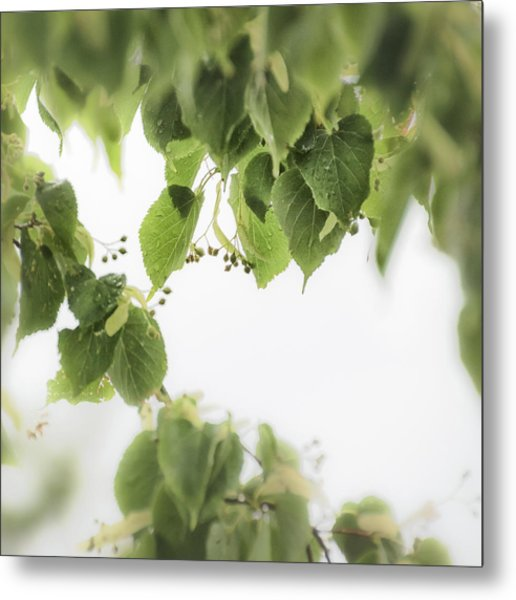Linden In The Rain 2 -  Metal Print