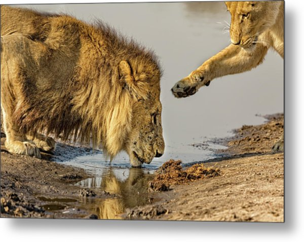 Lion Affection Metal Print