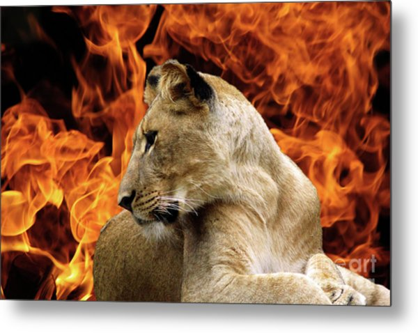 Lion And Fire Metal Print