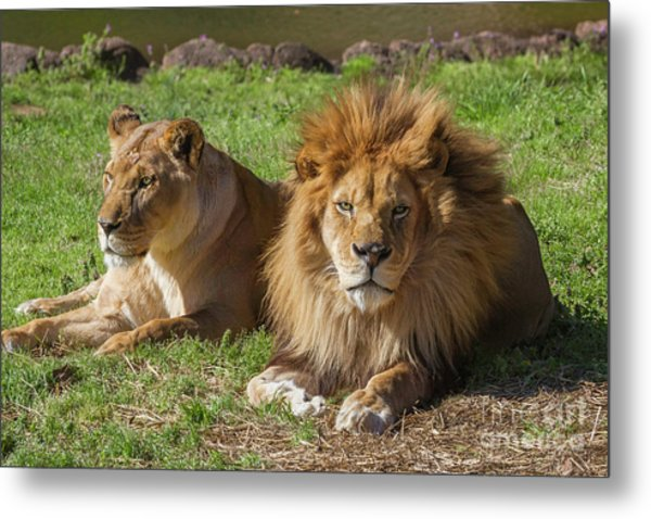 Lion And Lioness Metal Print