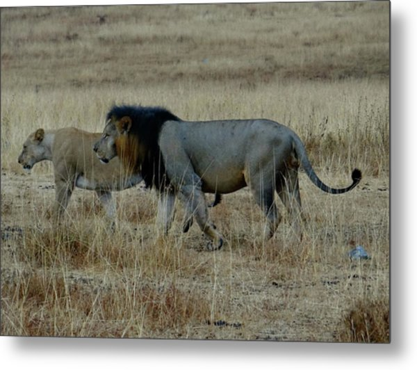 Lion And Pregnant Lioness Walking Metal Print