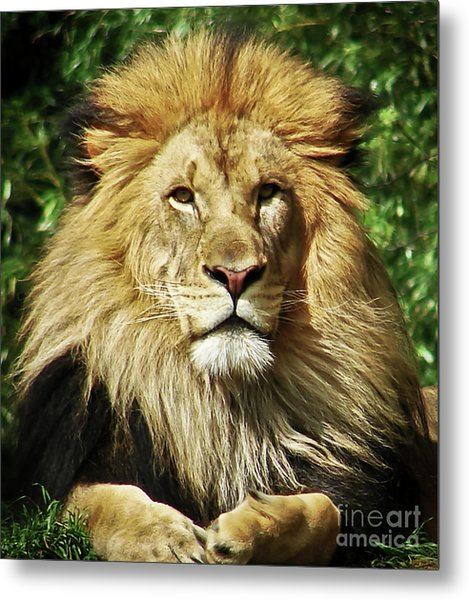 Lion King Metal Print by Cathy Mounts